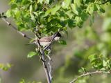 Mästersångare  Eastern Orphean Warbler Sylvia hortensis