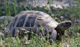 Grekisk landsköldpadda  Hermann's Tortoise  Testudo hermanni