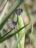 Little Tiger Blue  Tarucus balkanicus