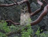 Brun fiskuv  Brown Fish Owl  Ketupa zeylonensis