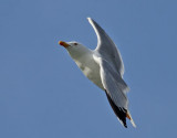 Medelhavstrut Yellow-legged Gull  Larus michahellis