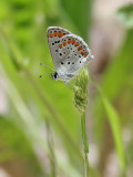 Rödfläckig blåvinge  Brown Argus  Plebeius agestis