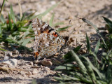 Tistelfjäril - Painted Lady - Cynthia cardui