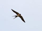 Rostgumpsvala  Red-rumped Swallow Hirundo daurica