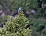 Blåtrast  Blue Rock Thrush  Monticola solitarius