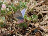 Anatolian Green-Underside Blue   Glaucopsyche astraea