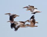 Vit pelikan  White Pelican  Pelecanus onocrotalus