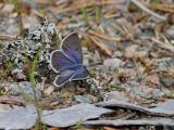 Violett blåvinge - Cranberry blue - Vacciniina optilete