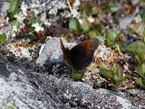 Fjällgräsfjäril - Dewy Ringlet (Erebia pandrose)