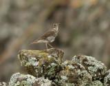 Birdtrip to Azores Oct 2015