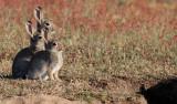 Kanin  European rabbit  Oryctolagus cuniculus