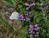 Hedblåvinge - Idas Blue - Plebejus idas