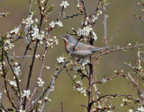 Rödstrupig sångare  Eastern Subalpine warbler  Sylvia cantillans cantillans