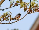 Rödstjärt  Phoenicurus phoenicurus Common Redstart