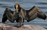 Storskarv  Great Cormorant Phalacrocorax carbo