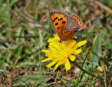 Mindre guldvinge- Small copper -Lycaena phlaeas