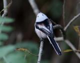 Stjärtmes   Long-tailed Tit  Aegthalos caudatus