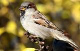Gråsparv  House Sparrow Passer domesticus