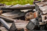 2009 - Beaver, Fort William Historical Park -Thunderbay, Ontario - Canada