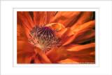 2014 - Poppy, Rosetta McClain Garden - Toronto, Ontario - Canada