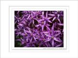 2014 - Allium - Rosetta McClain Garden - Toronto, Ontario - Canada
