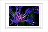 2014 - Centaurea Montana (Bachelor's Buttons ), Rosetta McClain Garden - Toronto, Ontario - Canada