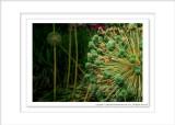 2014 - Allium Seeds - Toronto Botanic Garden, Ontario - Canada
