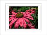 2014 - Echinacea (coneflower) - Toronto Botanic Garden, Ontario - Canada