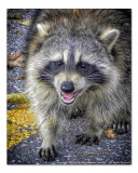 2014 - Rocky Raccoon - Toronto, Ontario - Canada