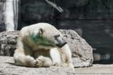 2015 - Polar Bear - Toronto Zoo, Ontario - Canada
