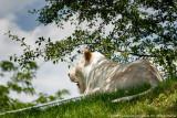 2015 - White Lion - Toronto Zoo, Ontario - Canada