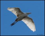 cattle egret in flight.jpg