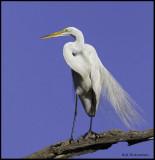 great egret breeding plumage1.jpg