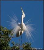 great egret displaying.jpg