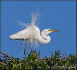 great egret displaying2.jpg
