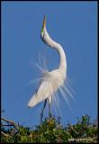great egret displaying3.jpg