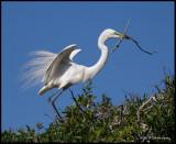 great egret nest building.jpg