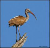 immature ibis.jpg