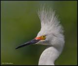 snowy egret w breeding crest portrait.jpg