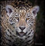 jaguar head shot.jpg