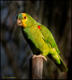 Blue Fronted Parrot or Turquoise Fronted Parrot (Amazona Aestiva)..jpg