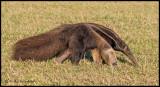anteater side view.jpg