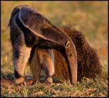 anteater twisted.jpg