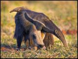 anteater w baby looking.jpg