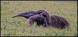 anteater w baby.jpg
