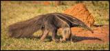 anteater w termite mound.jpg