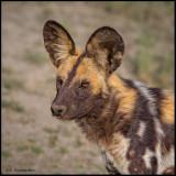 African hunting dog.jpg
