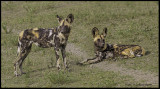 African hunting dogs2.jpg