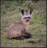 bat eared fox .jpg