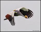 crowned crane in flight .jpg